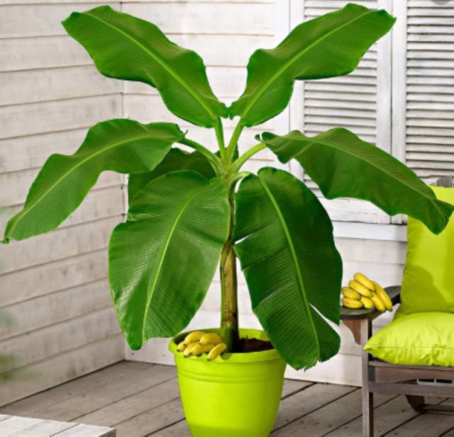 plantentrends musa bananenplant