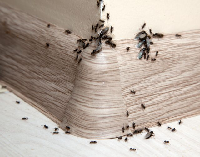 van mieren afkomen
