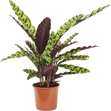 7. Calathea lancifolia insigne