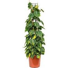6. Philodendron scandens brasil columnae