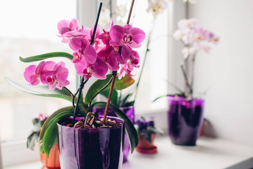 verzorging orchidee