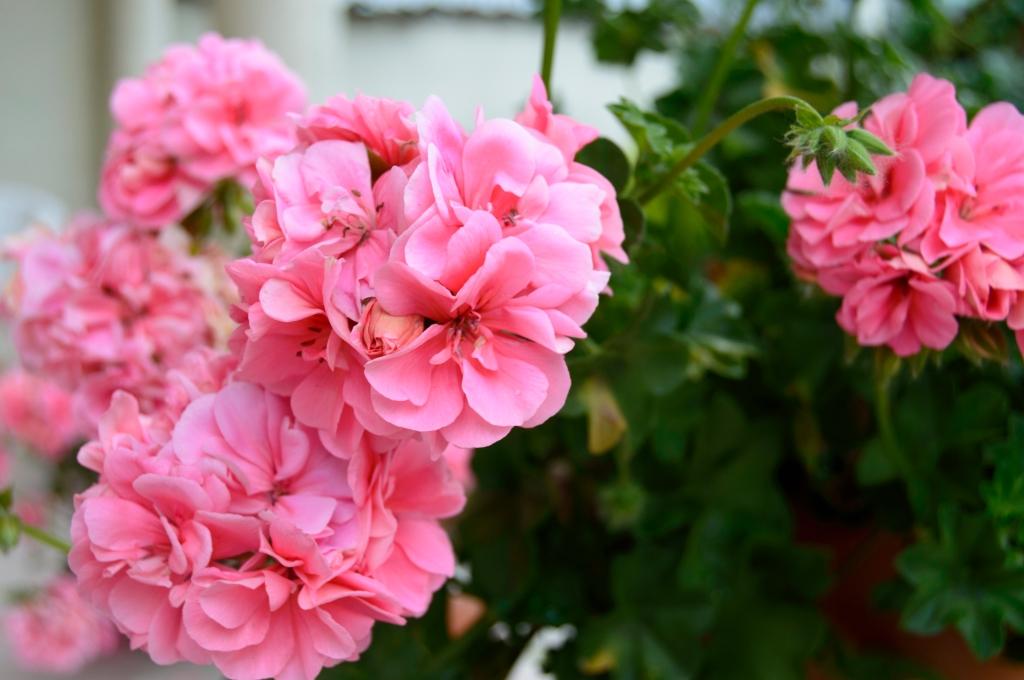 zomerbloemen tuin